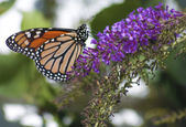 Monarch Danaus plexippus Butterfly — Stockfoto