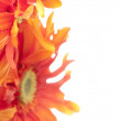 Red and Yellow Gerbera Daisy Background — Photo