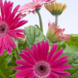 Stock Photo: gerbera daisies with new growth in backg