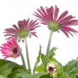 Gerbera Daisy Buds and Open Flowers — Stock Photo #2218828