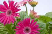 Gerbera Daisies with New Growth in Backg — Stockfoto