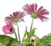 Gerbera Daisy Buds and Open Flowers — 图库照片