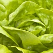 Hydroponic Bibb Lettuce — Stock Photo #2509199