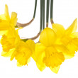 Spring Daffodils — Stock Photo #2610454