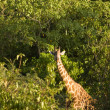 Stock Photo: Giraffe-1