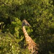 Stock Photo: Giraffe-2