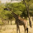 Stock Photo: Giraffe-7