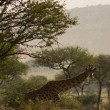 Stock Photo: Giraffe-8
