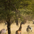 Stock Photo: Giraffe-9