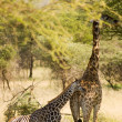 Stock Photo: Giraffe-10