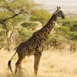 Stock Photo: Giraffe-11