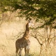 Stock Photo: Giraffe-12