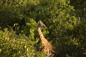 Giraffe-2 — Stock Photo