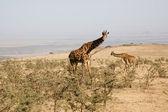 Giraffe-3 — Stock Photo