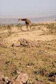 Giraffe-5 — Stock Photo