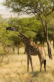 Giraffe-7 — Stock Photo