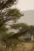 Giraffe-8 — Foto de Stock