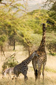 Giraffe-10 — Stock Photo