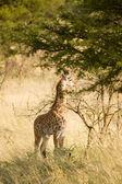 Giraffe-12 — Stock Photo