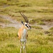 Thomsons gazelle-1 — Stock Photo #1408144