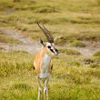 Thomsons gazelle-1 — Stock Photo