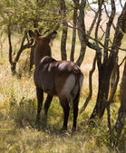 Waterbuck-1 — Stock Photo