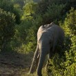 Stock Photo: Elefant-1