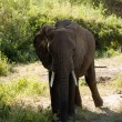 Stock Photo: Elefant-3