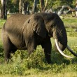 Stock Photo: Elefant-10