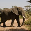 Stock Photo: Elefant-29