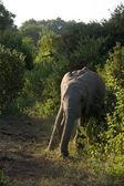 Elefant-1 — Stok fotoğraf