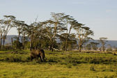 Elefant-13 — Stock Photo