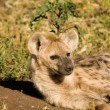 Stock Photo: Hyaena-2