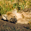 Stock Photo: Hyaena-3