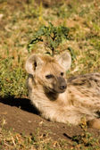 Hyaena-2 — Stock Photo