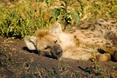 Hyaena-3 — Stock Photo