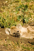 Hyaena-4 — Stock Photo