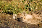 Hyaena-5 — Stock Photo