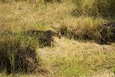 Leopard-11 — Foto Stock