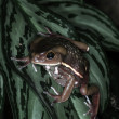 Stock Photo: Frogs-9