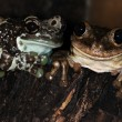 Stock Photo: Two frogs-1