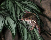 Frogs-8 — Stock Photo