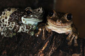 Two frogs-1 — Stock Photo