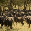 Blue Wildebeest-14 — Stock Photo