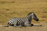 Zebra-12 — Stock Photo