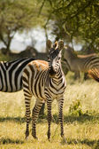 Zebra-16 — Stock Photo