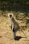 Samango (blue monkey) -8 — Stock Photo