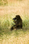 Olive Baboons -9 — Stock Photo