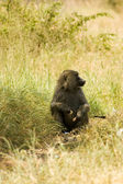 Olive Baboons -10 — Stock Photo