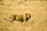 Lion-22 — Stock Photo